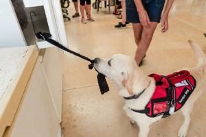 Assistance dog opening fridge